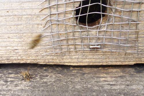 養蜂箱に帰ってきたミツバチの写真