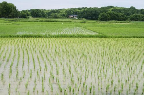 日当たりの良い田んぼの風景