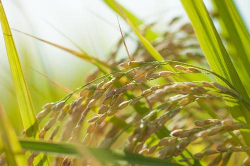 収穫前の稲穂