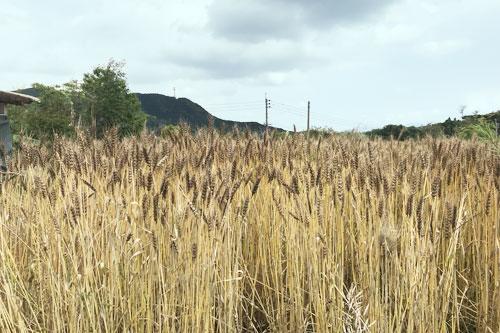桜島ふれんずの小麦畑