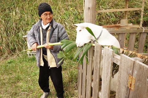 バナナの葉を食べるヤギの写真