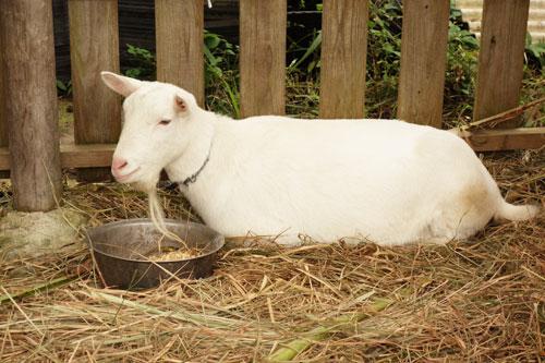 ヤギのハナコの写真