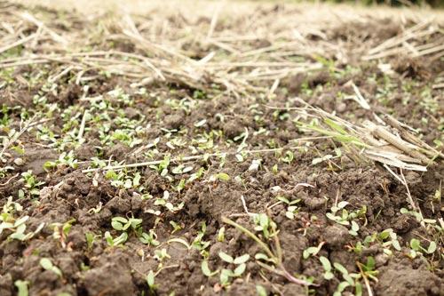 田んぼに生えた雑草