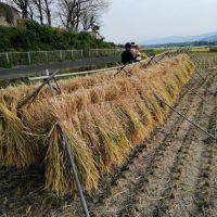 令和元年度の稲刈りが始まりました!